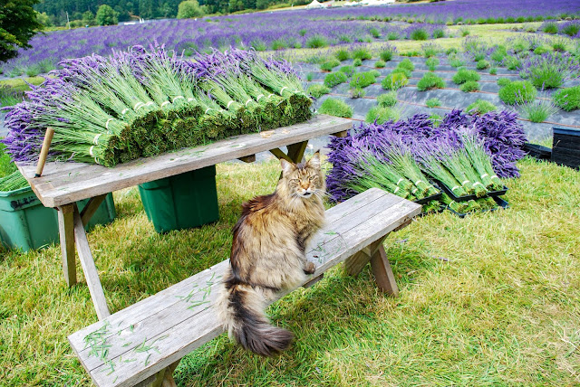 Pelindaba Lavender Farm on San Juan Island Washington