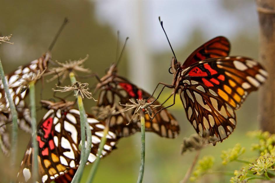 Fotografias De Mariposas Y Flores: Fotografías De Mariposas En Las Flores Silvestres