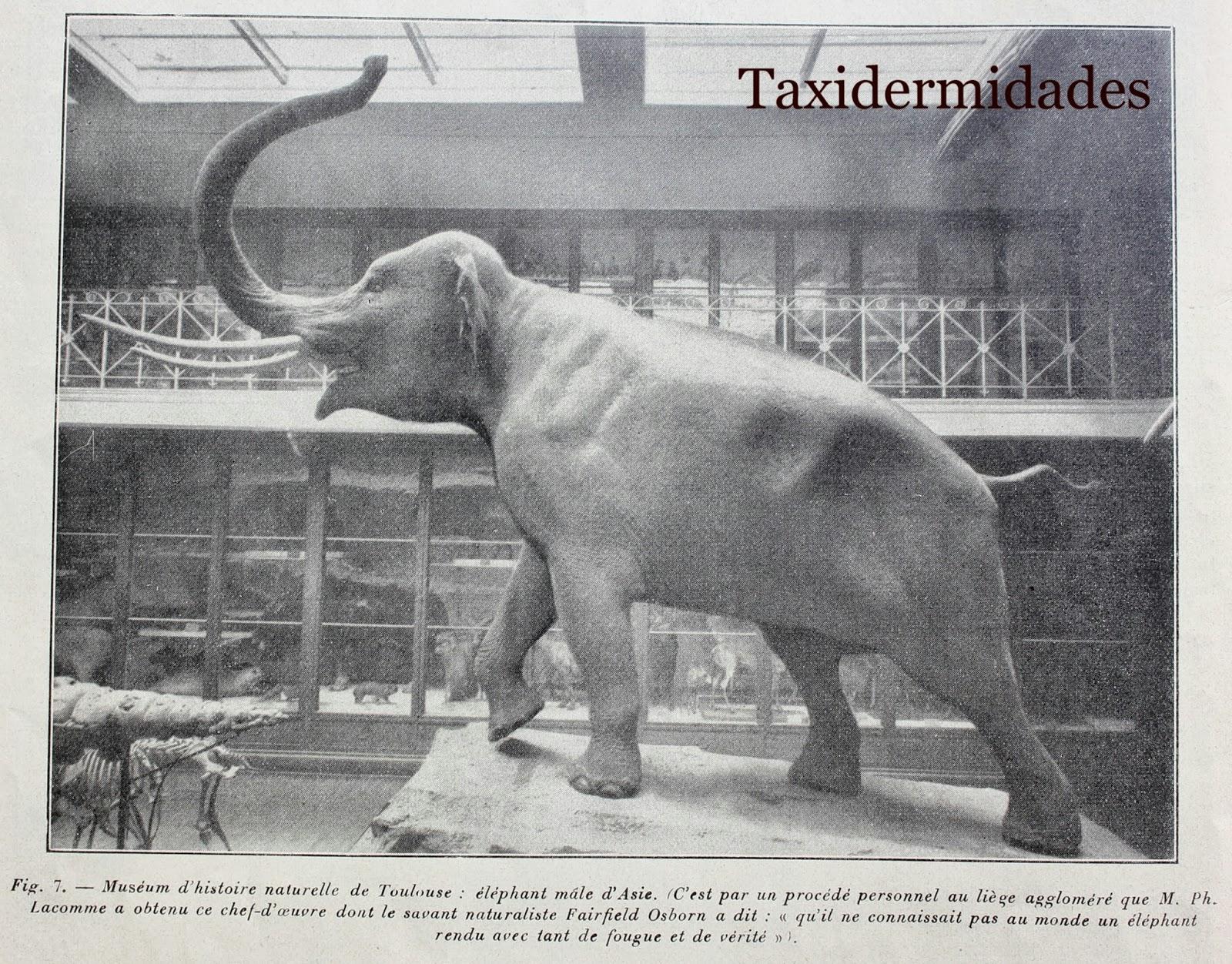 El uso del corcho aglomerado en la Taxidermia. El elefante del Museo ...