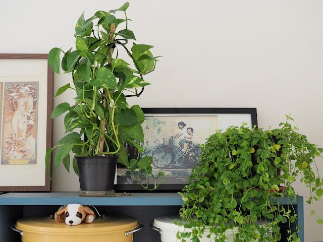 Plante intérieur - Pothos