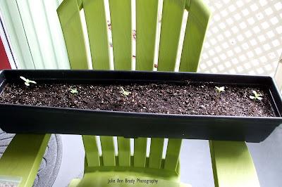 Chianti Hybrid Sunflower Seedlings