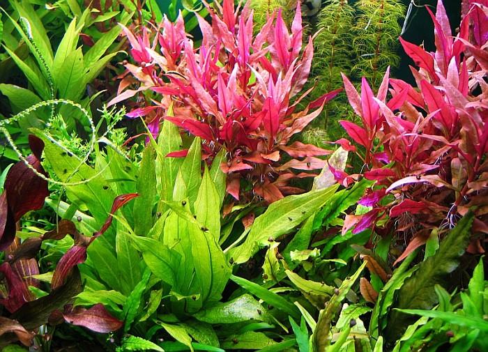 Vẻ đẹp của cây thủy sinh huyết tâm lan lá dài