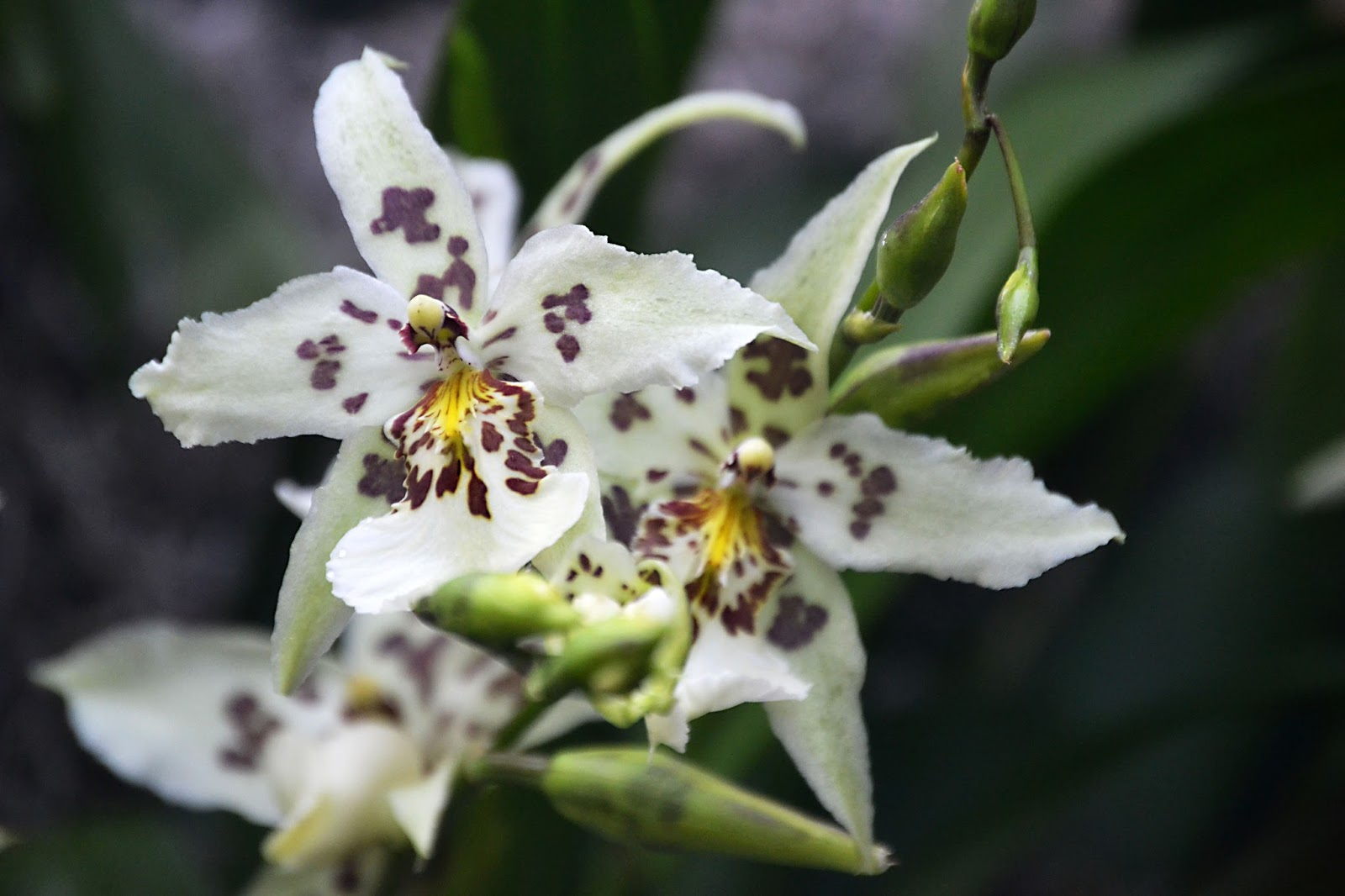 white spotted orchid flower - photo #15