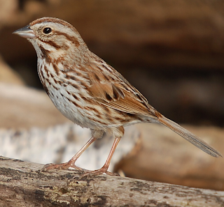 song sparrow mp3 download