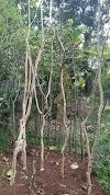 Jual pohon pelindung akasiafistula