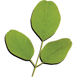 Treating Lupus With Moringa:  How Moringa Oleifera Helps Lupus Patients