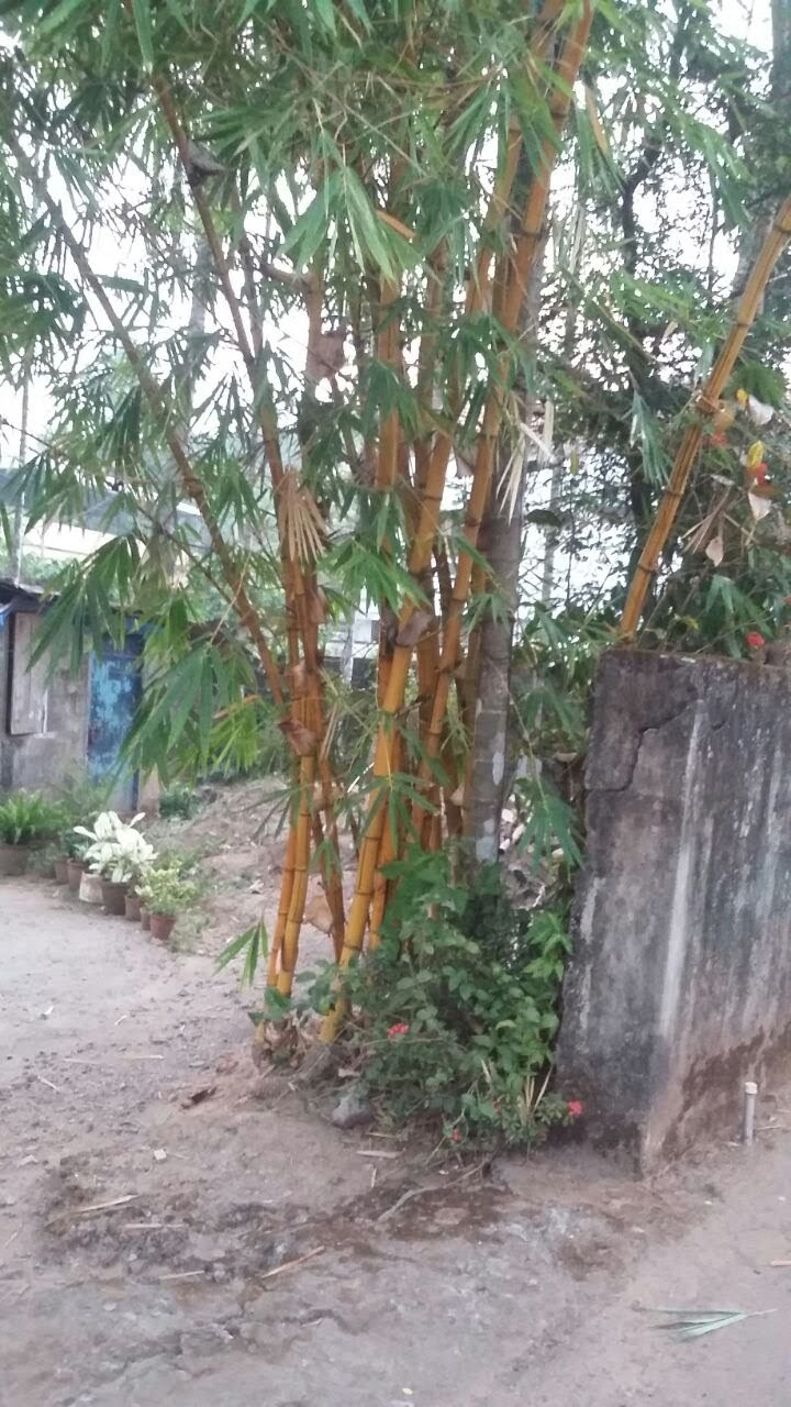 Blog from Mundanat: Bamboo a tree or plant?Bamboo indeed queen of