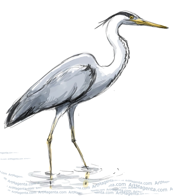 Grey Heron sketch painting. Bird art drawing by illustrator Artmagenta