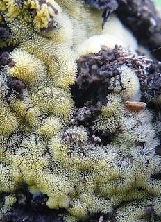 Ceratiomyxa fruticulosa - Cératiomyxie fruticuleuse