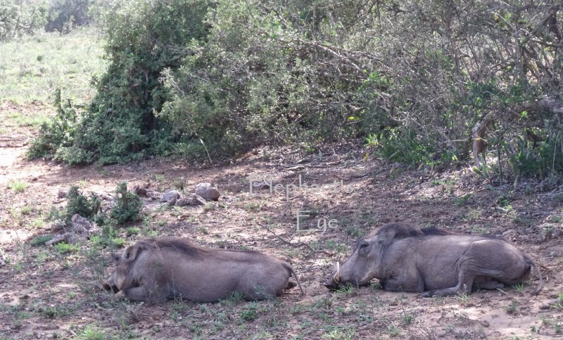 Warthogs resting at Addo