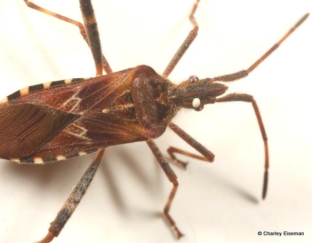 Cafard De Maison insecte ressemblant au cafard
