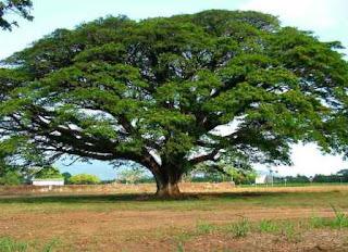 Khasiat Pohon Trembesi Atau Ki Hujan