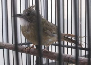 yang memiliki bentuk serta ukuran ibarat ihwal burung cucak jenggot Tips Agar Burung Kapas Tembak Bakalan Gacor