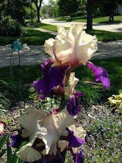 Michigan Iris