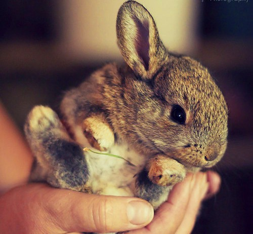 Mini Rabbit