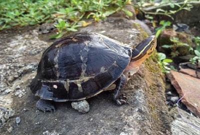 Kura-kura Ambon
