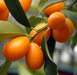 buah-jeruk-nagami.jpg