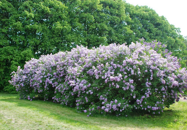 lilaki kórnik arboretum ogród wiejski