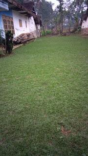Rumput gajah mini tuban jatim dari lahan kita di malang