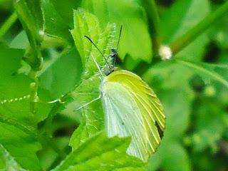 Resultado de imagem para borboleta asas brancas e amarelas