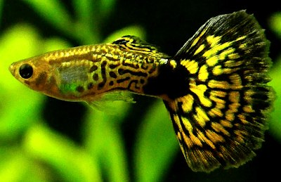 Ikan Guppy Cobra