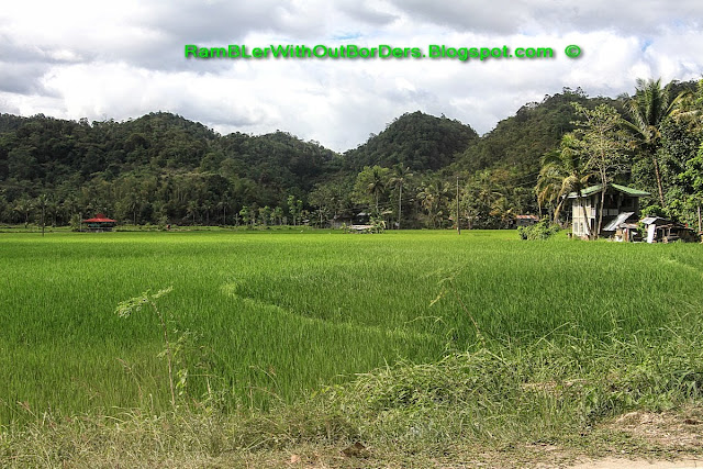 Rice paddy and farm houses, Chocolate Hills, Bohol Island, Philippines