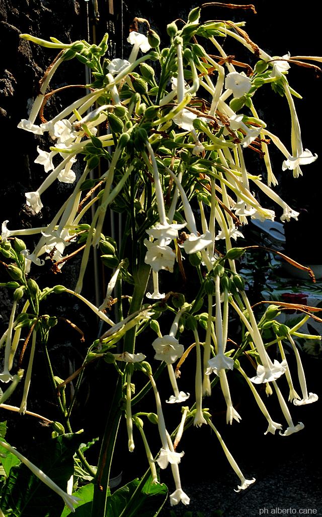 Fiori della pianta di tabacco