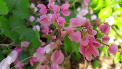antigonon leptopus Bee bush