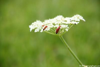 Téléphores sur Berce commune (Heracleum sphondylium)