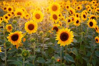 Budidaya bunga matahari