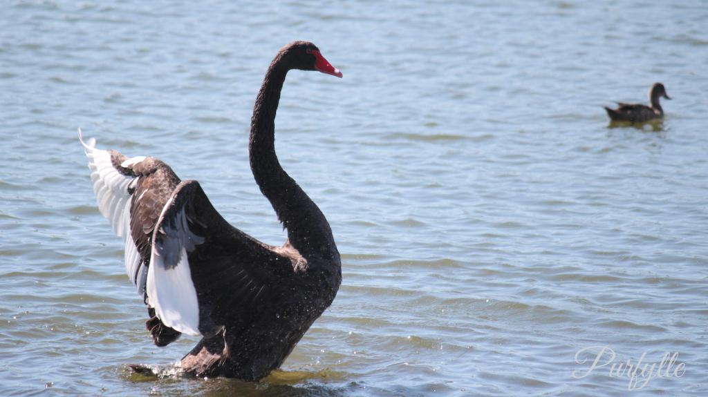 black swan having a stretch