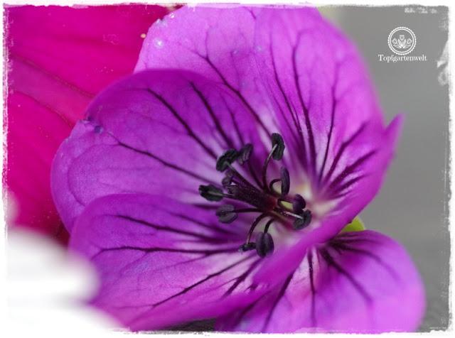 Gartenblog Topfgartenwelt Buchvorstellung Das 5-Pflanzen Prinzip - Genial einfach gestalten: Storchenschnabel