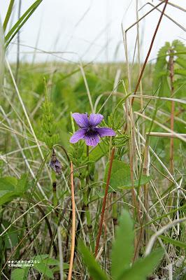 オオバタチツボスミレ ≪Aleutian violet≫