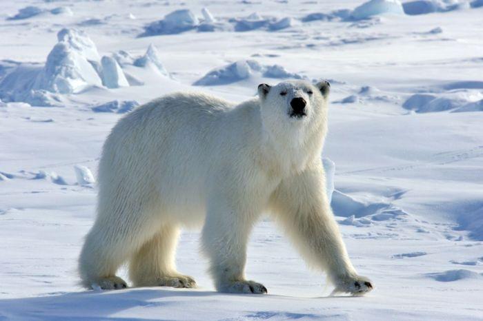 Tejariódico: Oso Polar
