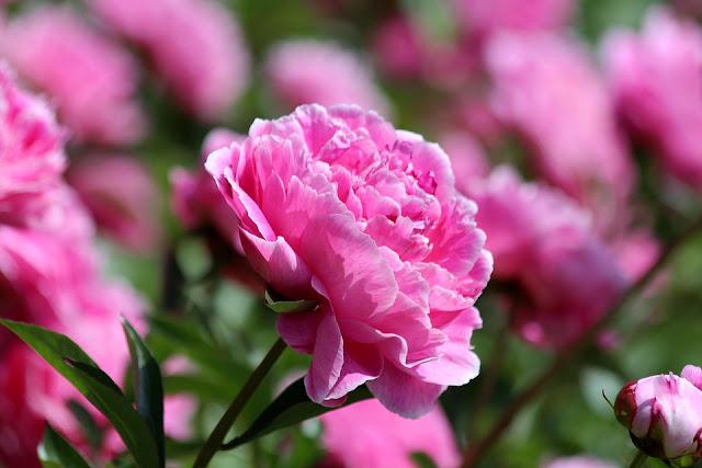y nghia hoa mau don o viet nam dep