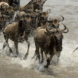 اسرع 5 حيوانات في العالم 7121411-wildebeest-c