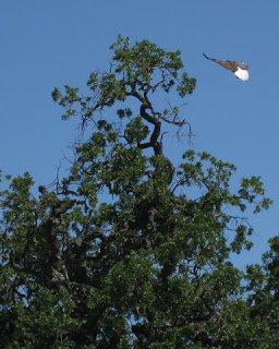 Bald eagle landing in a tree near Santa Margarita, California