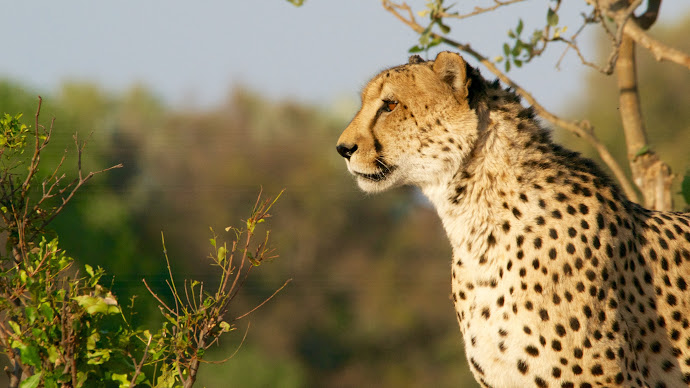 Wallpaper: Cheetahs in the wild