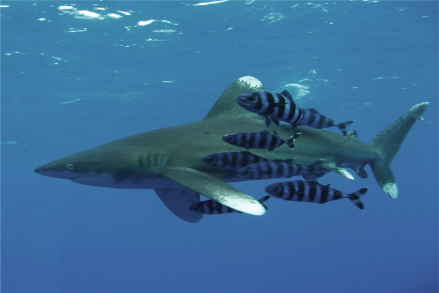 Picture of a White Tip Shark