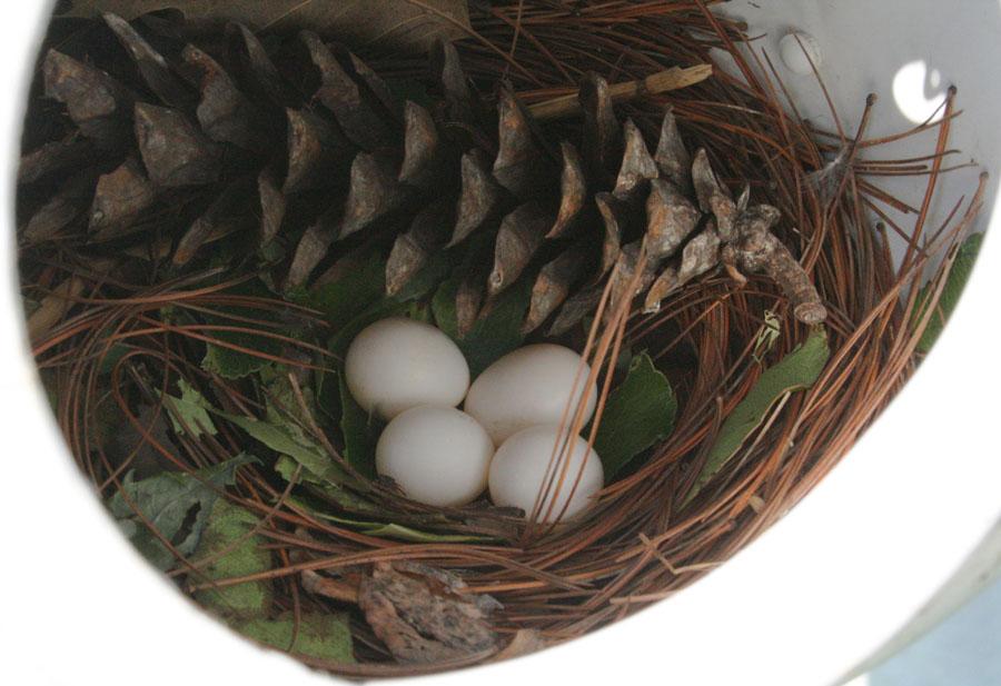Purple Martin Eggs