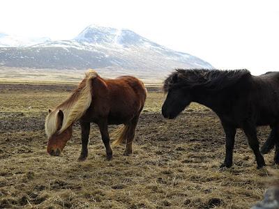Islandia, ekologia, eko, pastwisko, konie, kucyk, koń, kuc, natura, przyroda, ochrona przyrody, środowisko, ochrona środowiska; źródło: magdeleine.co