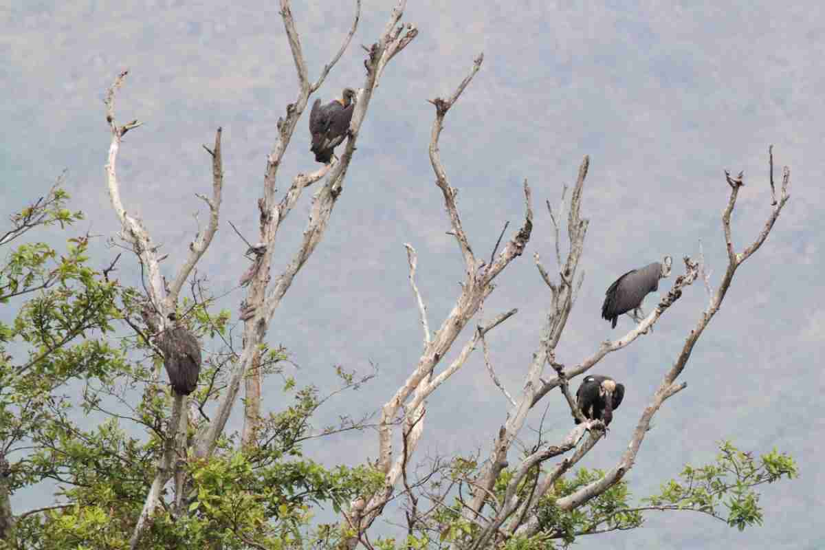 Two pairs of White-rumped Vultures sitting on a tree. Photographed by Vasanthan Panchavarnam