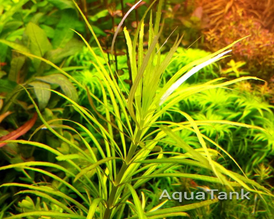 Cận cảnh cây thủy sinh dừa Nhật