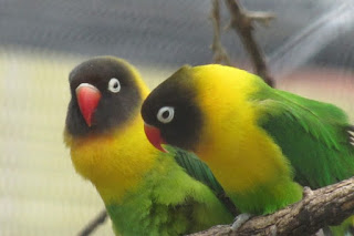 Black Collared Lovebird (Agapornis Swindernia)