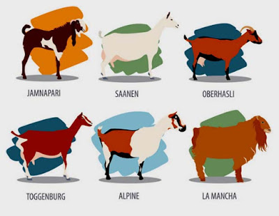 dairy goats, dairy goat breeds, best dairy goats, best dairy goat breeds, to dairy goat breeds, top 10 dairy goat breeds, highly productive dairy goat breeds, commercial dairy goat breeds