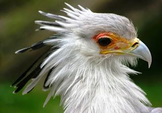 keunikan Burung Sekertaris/Secretary birds