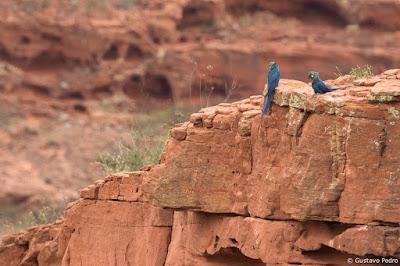 Blog lugares de memória -  Matéria sobre a Arara-azul-de-lear- foto Gustavo Pedro