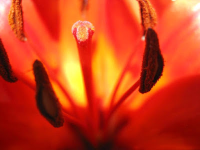 Close up of orange lily