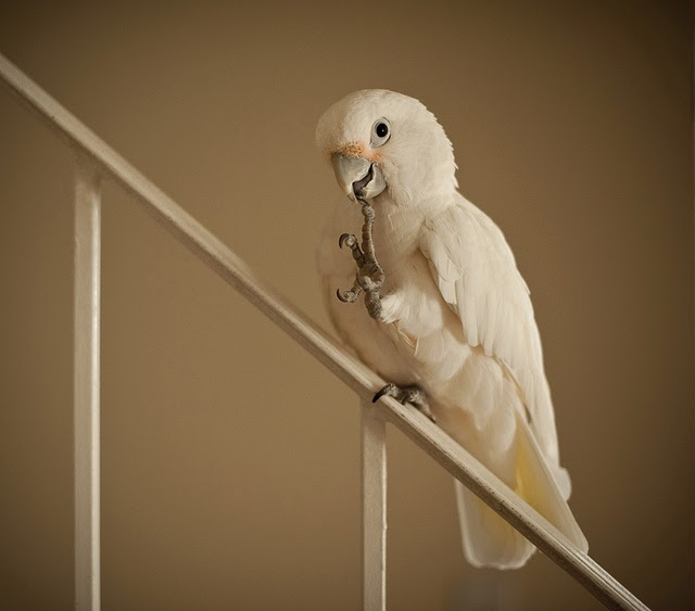 Popular Cockatoos That Are Kept as Pets | Pawsitively Pets