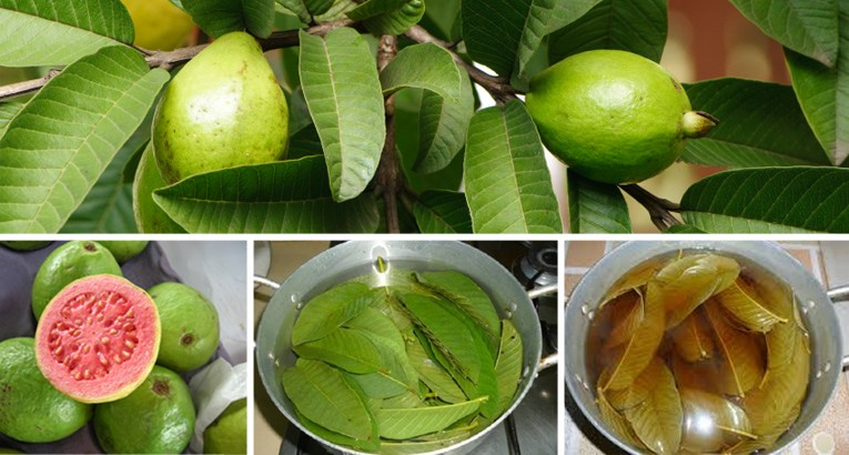 guava leaves, guava